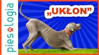 """Jak nauczyć psa sztuczki """"ukłon""""?"""