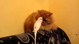 КОТ и ПОПУГАЙ, Попугай Достаёт Кота, прикол с котом, смешное видео, приколы 2014, prikoly 2013