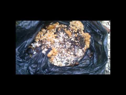 грибы зимние опенки выращивание