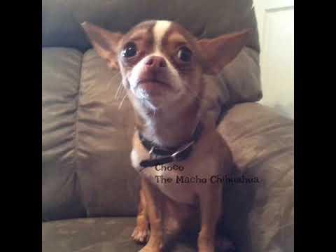 Choco The Macho Chihuahua gets his feelings hurt.