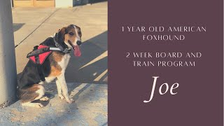Best Dog Training in Chicago! 1 year old American Foxhound, Joe!