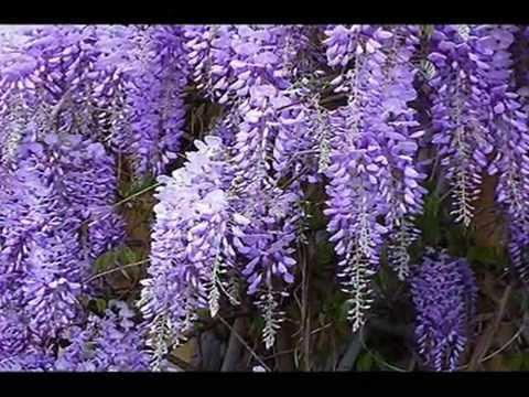 Wisteria glicinia en flor primavera 2014 funnycat tv - Glicinia en maceta ...