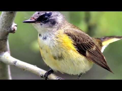 34 American Redstart Male & Female Birds! Top 34 Redstart Male & Female Birds Of United States #34