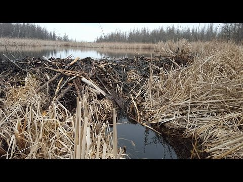 """Spring Beaver Trapping Part 5 """"Massive Dam and Last chance Beavers"""""""