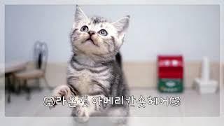 라온캣 고양이분양 아메리칸 숏헤어