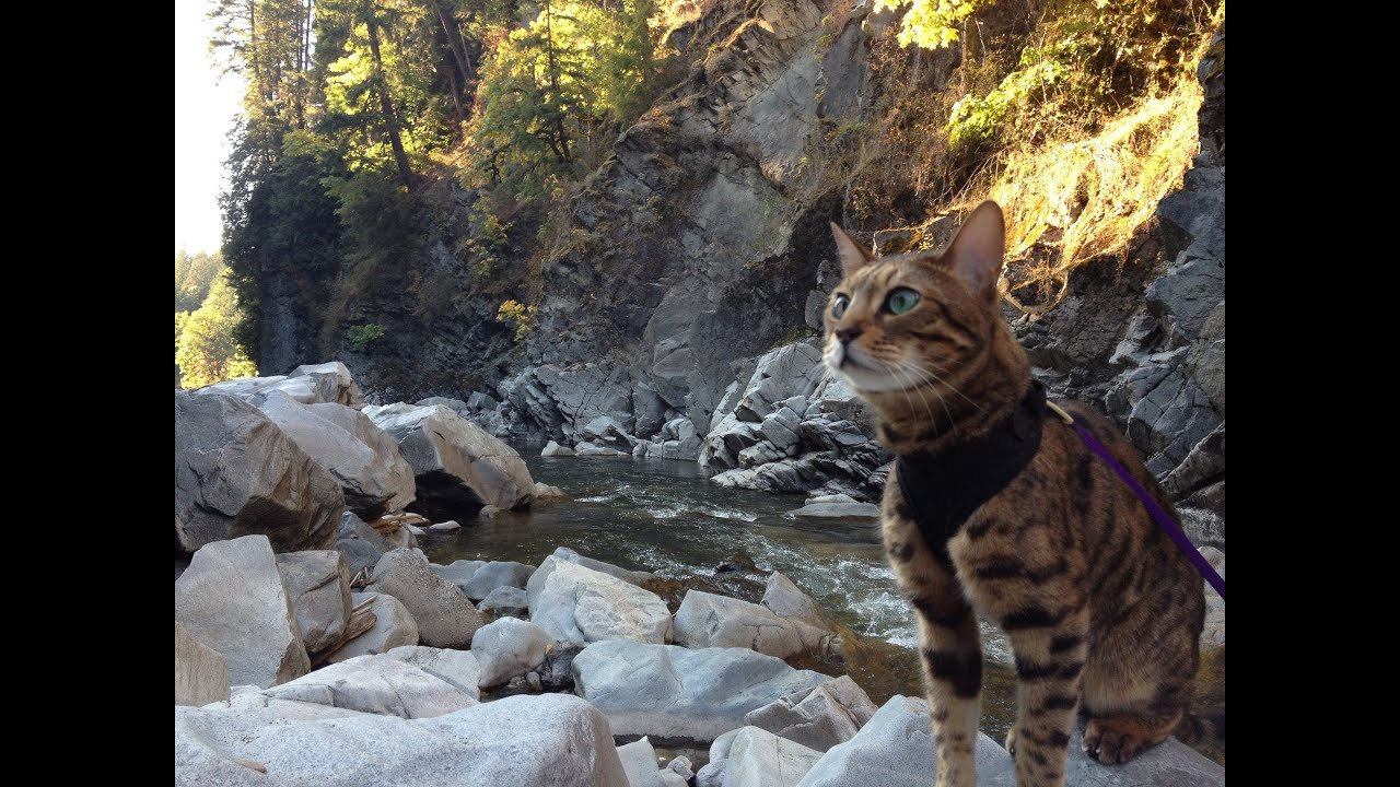 Day Hike with a Bengal Cat - YouTube