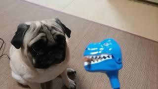 パグ犬ムゥの目の前にジャーキーを口にくわえた恐竜さんが現れました。...
