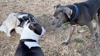 Sneaky PitBull Robs an Old Couple