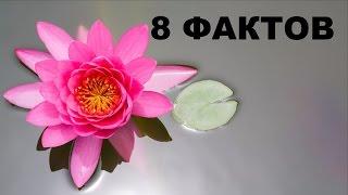 видео Кубышка желтая и ее применение в народной медицине