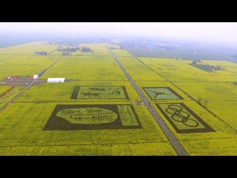 Огромные поля желтого рапса в Китае