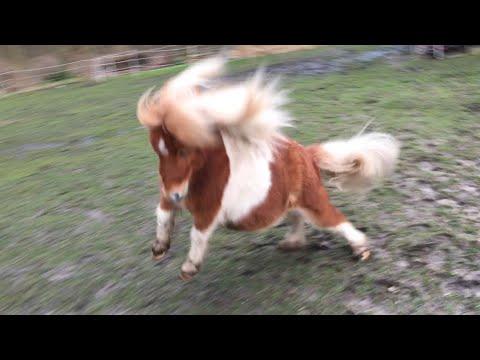 Miniature Horse Hops Around Pen