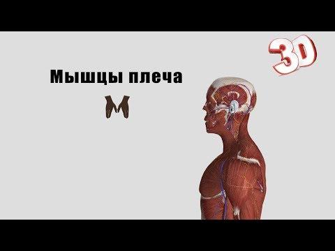 Мышцы плеча -