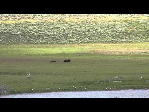 Grizzly mama and cubs enjoying a peaceful moment together - Yellowstone