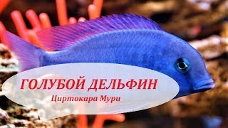 Циртокара мури. Голубой дельфин. Малавийские цихлиды в аквариуме, содержание, размножение.