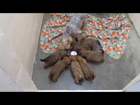 Morkie Puppies At Hearthside Meadow   Jan 2020