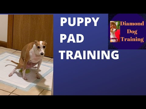 POTTY TRAIN A PUPPY WITH PADS:  SMALL DOG  ( ITALIAN GREYHOUND)