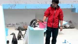 北海道・おたる水族館にて、フンボルトペンギンのショー。 ...とは言っ...