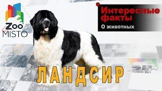 Ландсир - Интересные факты о породе  | Собака породы ландсир