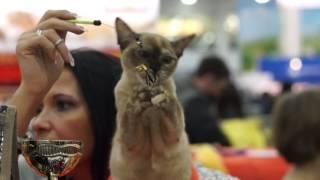 Catsburg Cat Show - WCF - TICA - Moscow 04.03.2017 Выставка кошек Кэтсбург