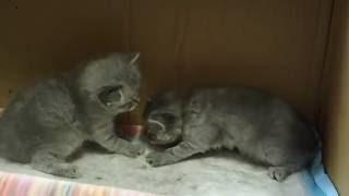 Сибирская кошка. Котятам 24 дня.