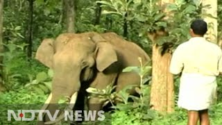 Meet Maniyan, the friendly tusker of Wayanad