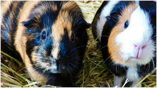 7 Common Mistakes That New Guinea Pig Owners Make
