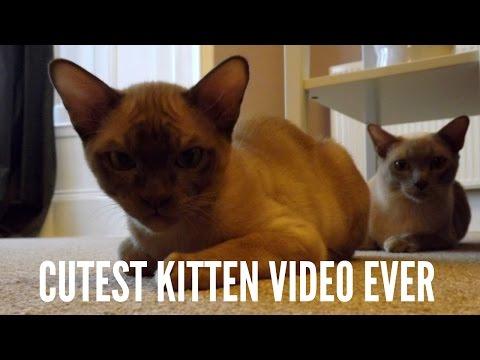 Burmese Kitten, Lazer Pen Crazy Noise Fun!