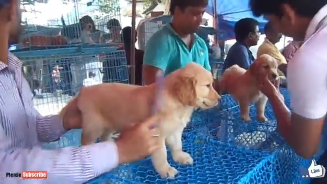 Best Golden Retriever Puppy In Galiff Street Pet Market Kolkata