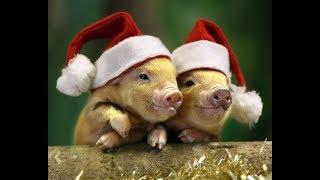 Поздравление с Новым  2019 Годом! Год желтой земляной свиньи на пороге!Встречайте!