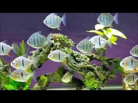 Update Aquarium Silver Dollar & Archer Fish