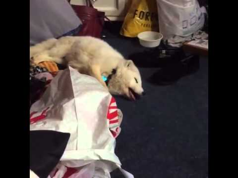 Delightful Pet Arctic Fox Laughs Just Like A Human