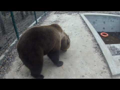 Медведю дали скейтборд (видео с го-про)