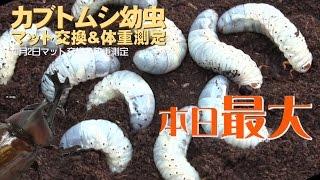 最初に生まれたカブトムシの幼虫は7月 それから3月20日まで数回行った ...