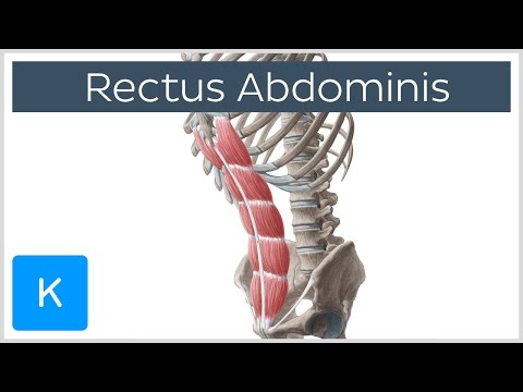 Rectus Abdominis Muscle Overview Anatomy | Kenhub