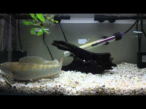 Peacock Snakehead Fish Feeding (Channa Pulchra) 2