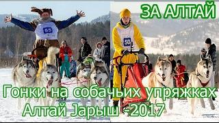 видео Гонки на собачьих упряжках в Алтайском крае -