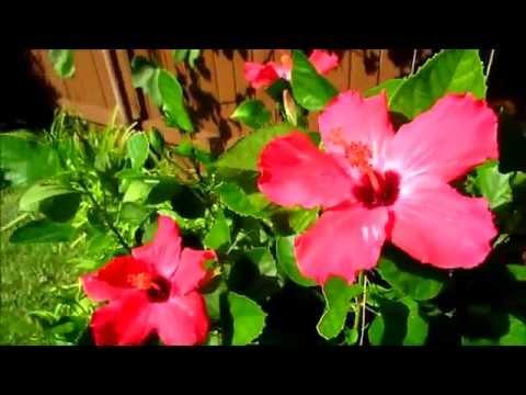 видео: #Гибискус  Китайская роза Цветет в саду