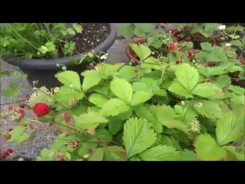 erdbeeren in der erdbeers ule erdbeerbaum youtube. Black Bedroom Furniture Sets. Home Design Ideas