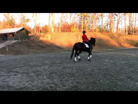 Latin Warrior - Eventing & Dressage Prospect For Sale