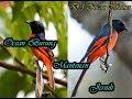 Masteran Burung Mantenan Sangat Bagus Suara Jernih  Mp3 - Mp4 Download