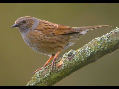 Dunnock Rearing Young In My Garden (Hedge Sparrow)