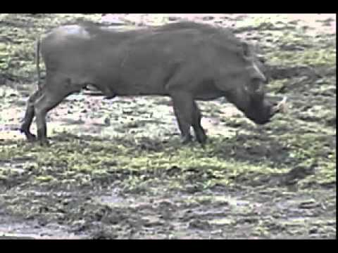 Injured Warthog at Djuma Waterhole - Nov 2, 2011