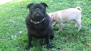 Cute Pugs! Bean & Lucy