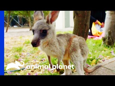 Keith The Kangaroo Takes His First Hop | Dodo Heroes