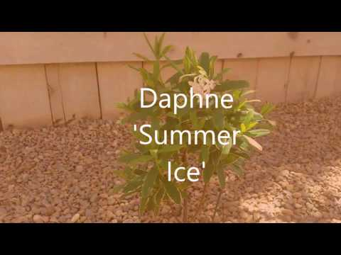 "Fragrant Plants: Daphne ""Summer Ice"""