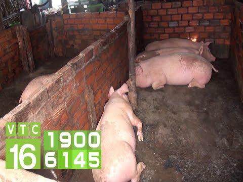Diễn biến mới nhất của dịch tả lợn Châu Phi   VTC16