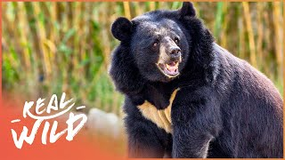 The Black Bear: Nature's Gentle Giant Fighting To Survive | On The Brink S1 EP8 | Real Wild