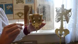 Скелет туловища (ЗБМК)`