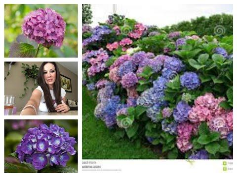 Reproducir hortensias por esquejes doovi for Hortensias cultivo y cuidados