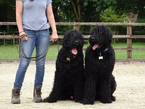 Casper & Aleksandr - Russian Black Terrier - Dog Aggression Residential Dog Training